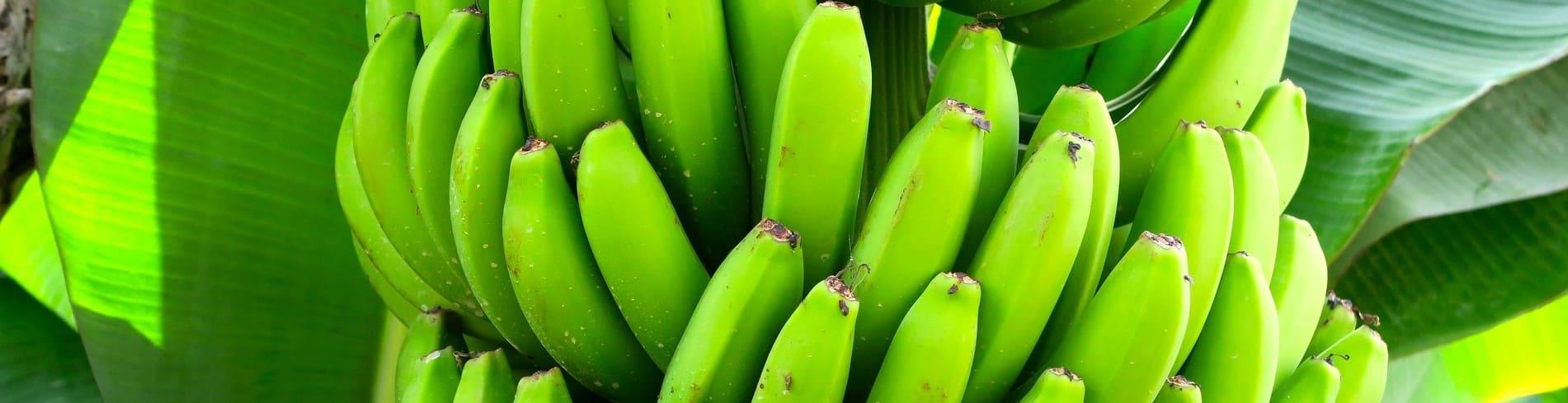 bananas dominicana